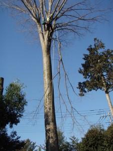 超高木の剪定
